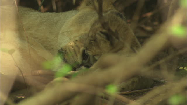 asiatic lion cub grooming its mother face - sequential series stock videos & royalty-free footage