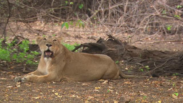 stockvideo's en b-roll-footage met asiatic lion cub moving down from tree and walks away - dierlijk gedrag