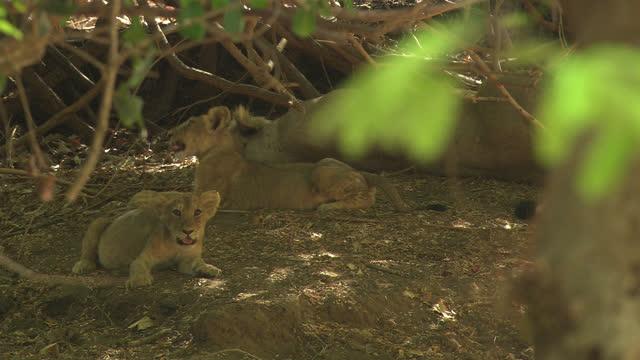 vídeos y material grabado en eventos de stock de asiatic lion cub pulling wooden stick and its sibling looking at camera - grupo pequeño de animales