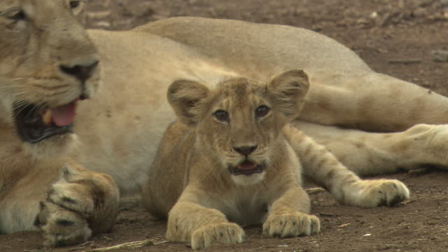 asiatic lion cub sits with mother - sequential series stock videos & royalty-free footage