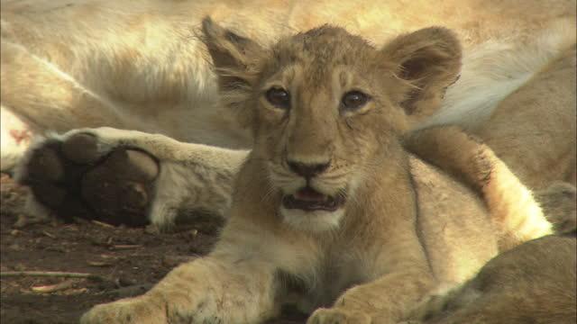 asiatic lion cubs near the mother - schnurrhaar stock-videos und b-roll-filmmaterial