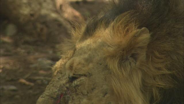 asiatic lion heads down on paw - schnurrhaar stock-videos und b-roll-filmmaterial