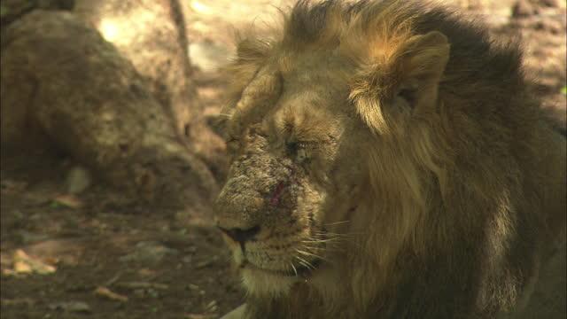 asiatic lion resting near the tree, looking away - schnurrhaar stock-videos und b-roll-filmmaterial