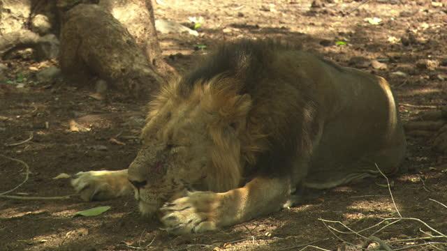 asiatic lion resting near the tree - schnurrhaar stock-videos und b-roll-filmmaterial
