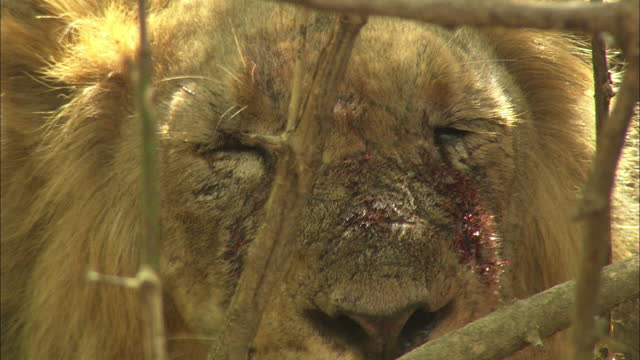 asiatic lion resting with blood face at behind the wood - animal eye stock videos & royalty-free footage