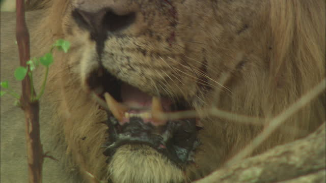 asiatic lion teeth - animal hair stock videos & royalty-free footage
