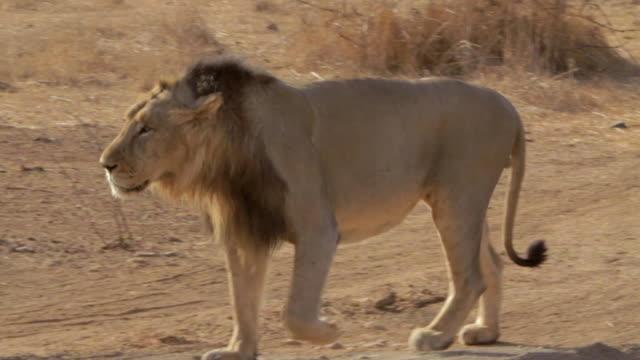 asiatic lion walking - グジャラート州点の映像素材/bロール
