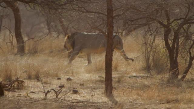 Asiatic lion walking