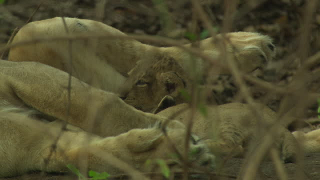 asiatic lioness feeding to her small cubs, climate changing - small group of animals stock videos & royalty-free footage