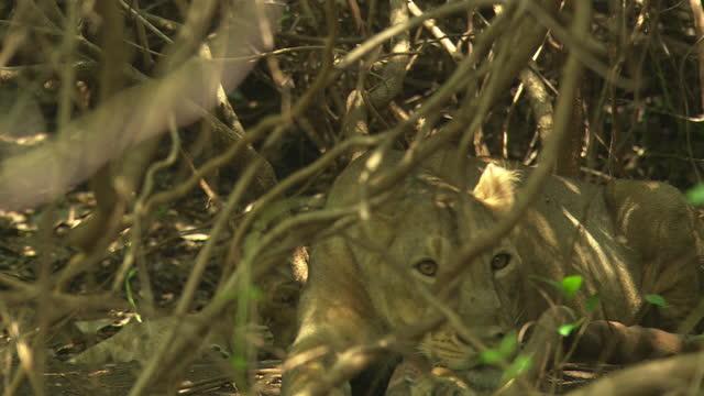 vídeos y material grabado en eventos de stock de asiatic lioness heads on wood her cubs playing at behind - grupo pequeño de animales