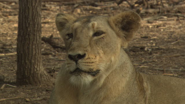 asiatic lioness in tree area - schnurrhaar stock-videos und b-roll-filmmaterial