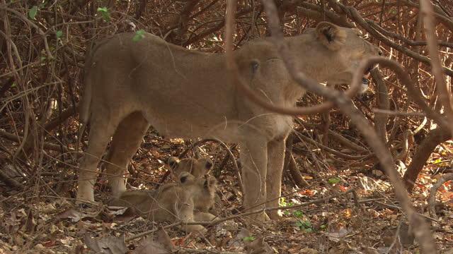 vídeos de stock, filmes e b-roll de asiatic lioness looks alert - grupo pequeno de animais