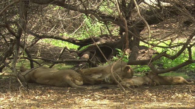 vídeos y material grabado en eventos de stock de asiatic lioness lying down nearby family - grupo pequeño de animales