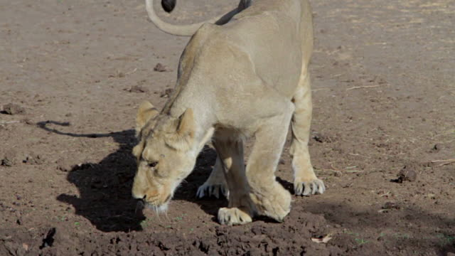 Asiatic lioness playing