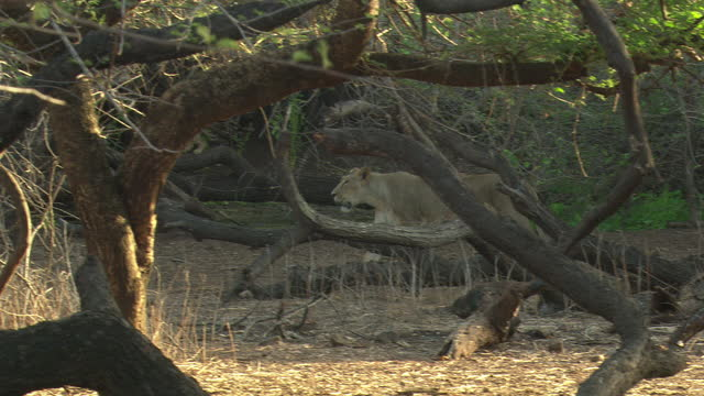 asiatic lioness walks away through woodland - natural parkland stock videos & royalty-free footage