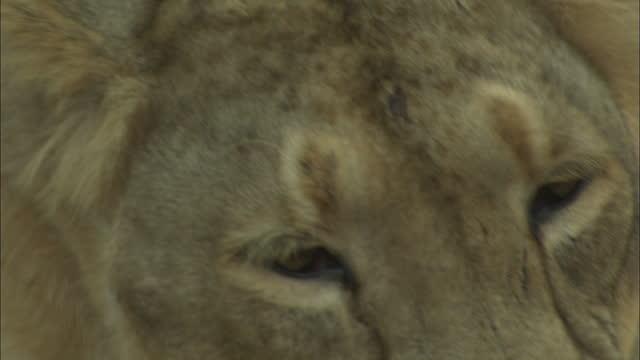 asiatic lioness watch around and heads down on paw - schnurrhaar stock-videos und b-roll-filmmaterial