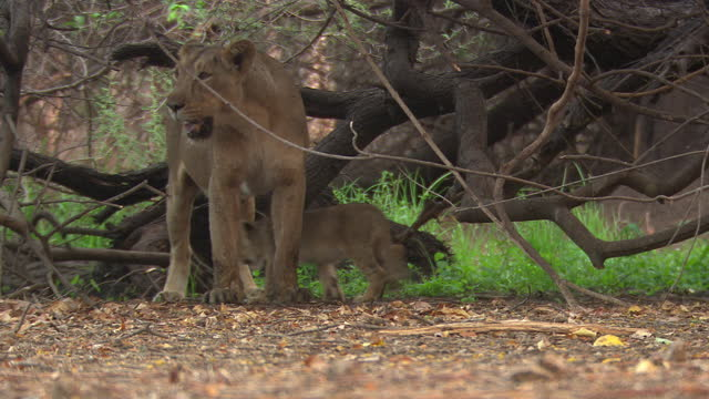 asiatic lioness with her small cubs at under the tree, cubs moving away from mother - wildlife reserve stock videos & royalty-free footage