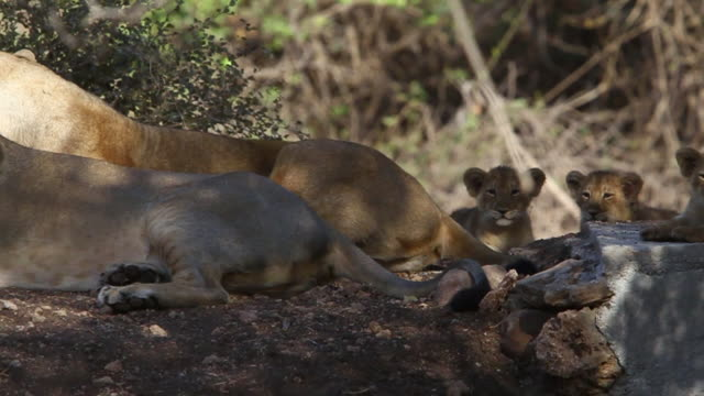 asiatic lionesses with cub - グジャラート州点の映像素材/bロール
