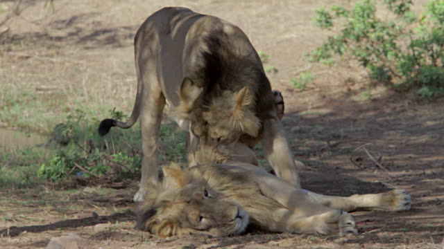Asiatic lions playing
