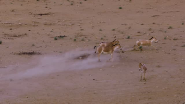 asiatic wild ass - onager (equus hemionus) - a herd galloping in the wild, negev, israel - hooved animal stock videos and b-roll footage