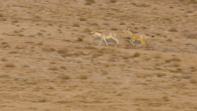 vidéos et rushes de asiatic wild ass - onager (equus hemionus) - a herd in the wild, negev, israel - accouplement cheval