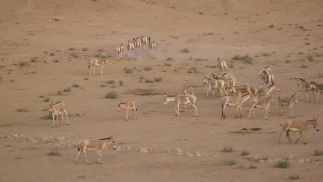 Asiatic Wild Ass - Onager (Equus hemionus) - a herd in the wild, Negev, Israel