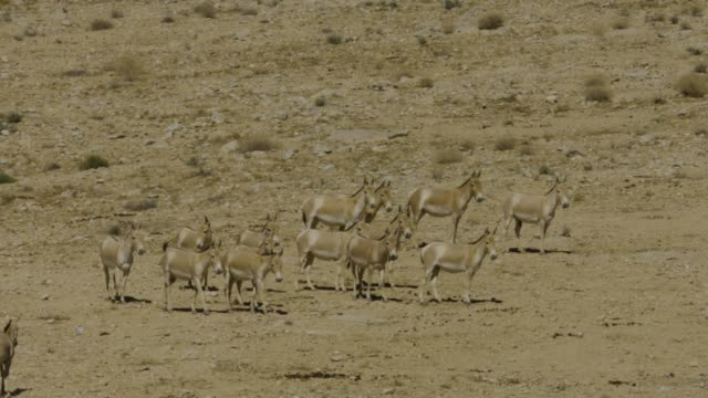 asiatic wild ass - onager (equus hemionus) - a herd in the wild, negev, israel - hooved animal stock videos and b-roll footage
