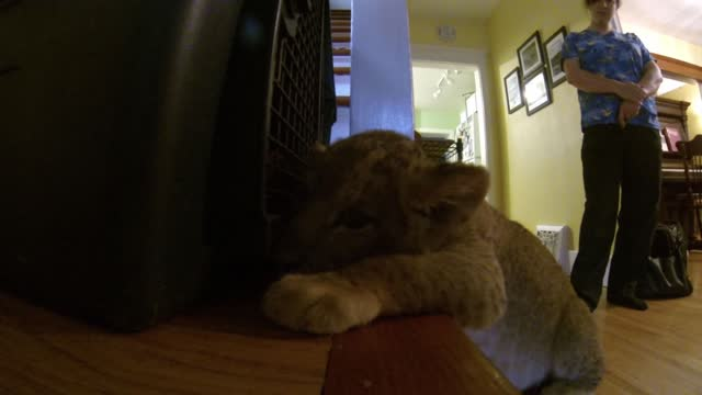aslan is a lion cub who likes to have a little nap after a good play time. he's been exploring and chasing toys for a few hours and now he's worn... - foster care stock videos & royalty-free footage
