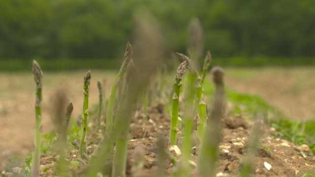 asparagus crop in field, west sussex, uk - asparagus stock videos & royalty-free footage