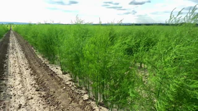 asparagus field - asparagus stock videos & royalty-free footage