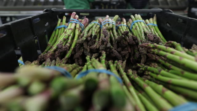 asparagus picking in minster kent uk on wednesday april 15 2020 - harvesting stock videos & royalty-free footage