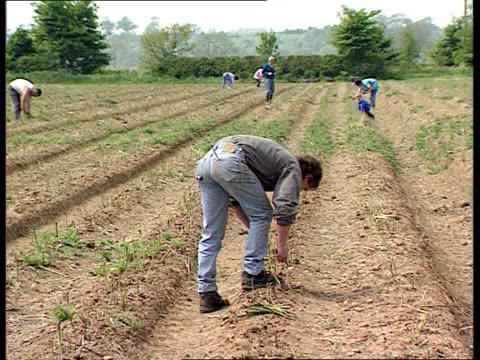 Asparagus rustling LIB AIRV flooded town LIB GV people picking asparagus in field by hand