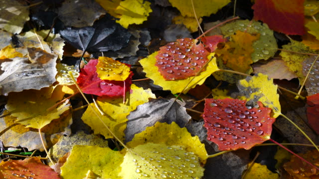 Aspen fallen leaves, La Jacetania, Huesca, Aragon, Spain, Europe