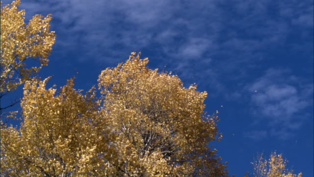 Aspen trees (Populus tremuloides) drop leaves in Autumn, Yellowstone, USA