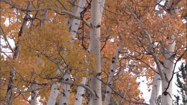 aspen trees (populus tremuloides) in autumn colour, yellowstone, usa - aspen tree stock videos & royalty-free footage
