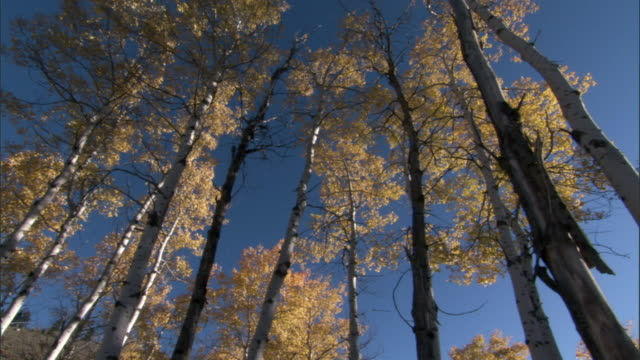 Aspen trees (Populus tremuloides) in Autumn, Yellowstone, USA