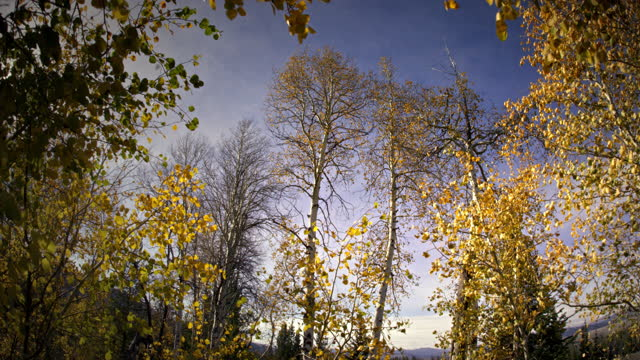 aspen trees quacking in the wind - aspen tree stock videos & royalty-free footage