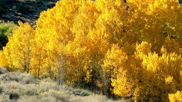 aspen trees - aspen tree stock videos and b-roll footage