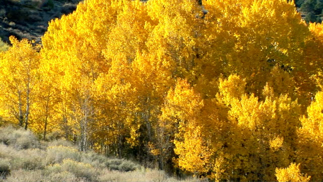 vídeos de stock e filmes b-roll de aspen trees - choupo tremedor
