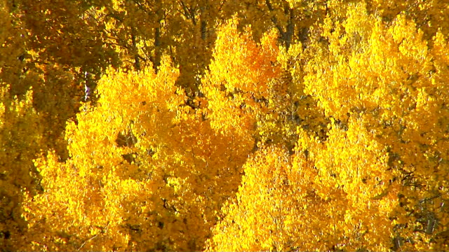 aspen trees - grove stock videos & royalty-free footage