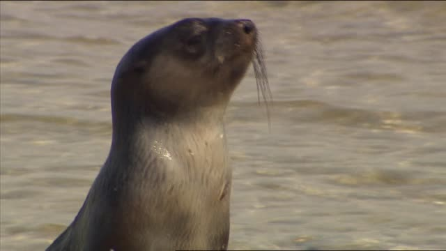 aspendale beach port phillip bay close ups of cute baby seal pup plays on the waters edge rolling over - seal pup stock videos and b-roll footage