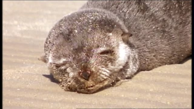 aspendale beach port phillip bay cute baby seal pup sunbakes on sand and swims in shallow water - seal pup stock videos and b-roll footage