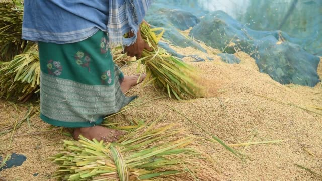 stockvideo's en b-roll-footage met assam india 27 may 2020 farmer threshing rice paddy after harvesting at a flood effected village in kamrup district of assam in india on wednesday 27... - strohoed