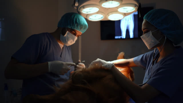 assistant handing surgical tools to veterinarian during a surgery - animal hospital stock videos & royalty-free footage