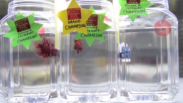 At a beauty pageant in Singapore fighting fish are placed in glass jars and judges observe them for their fighting posture as well as size and...