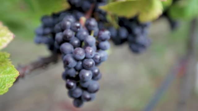 vidéos et rushes de au vignoble - raisins sur la vigne - raisin noir