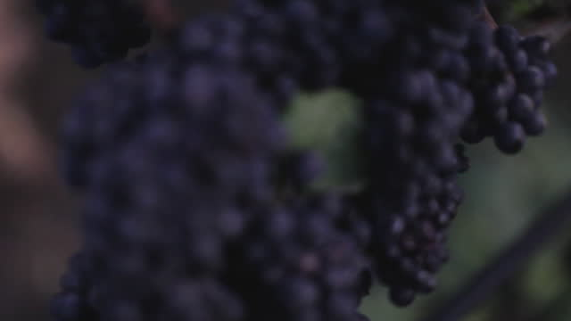 at the vineyard - grapes on the vine - red grape stock videos & royalty-free footage