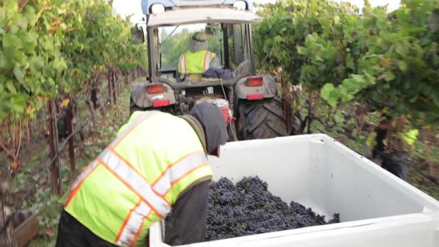 vídeos de stock e filmes b-roll de at the vineyard - harvesting grapes - ramo parte de uma planta