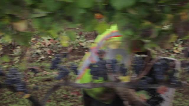 in vigna - raccolta uva - lavoratore emigrante video stock e b–roll
