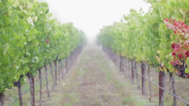 vídeos de stock e filmes b-roll de at the vineyard - picking grapes - ramo parte de uma planta